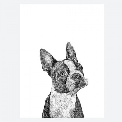 basil-the-boston-terrier
