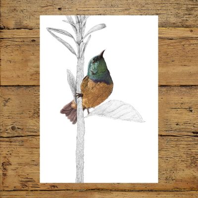 Collard Sunbird, birds, in the garden, beautiful, illustration, Animals, Ben Rothery