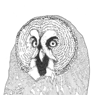 great grey owl for website