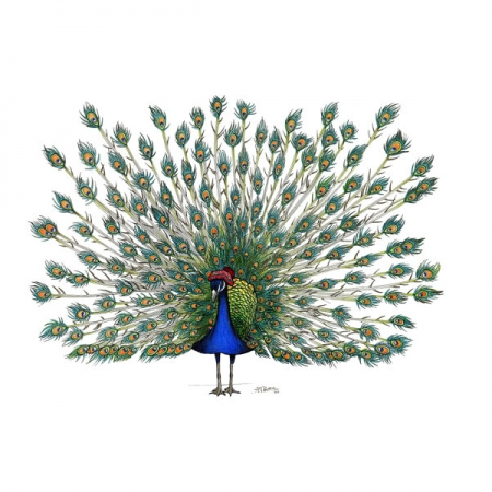 Peacock in a Scottish Bonnet