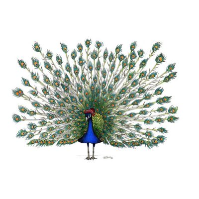 peacock in a scottish bonnet by alice tams
