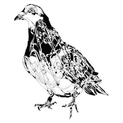 SW_pigeon