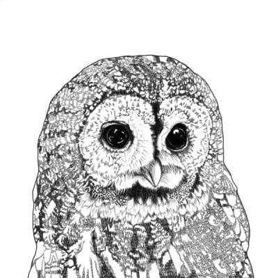 tawny owl WEB sq 600